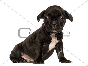 French bulldog puppy sitting, looking at the camera, isolated on