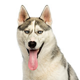Close-up of a Husky panting, looking at the camera, isolated on