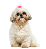 Front view of a Shih Tzu sitting, looking at the camera, 10 mont