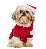 Shih Tzu wearing a christmas disguise, sitting, 10 months old, i