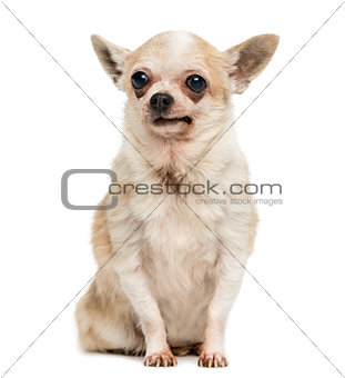 Old Chihuahua with periorbital dark circles, sitting, isolated o