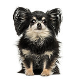 Long hair Chihuahua sitting, looking at the camera, isolated on