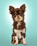 Chihuahua sitting, looking at the camera, on a blue background