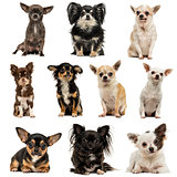 Composition of Chihuahuas, isolated on white