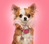 Chihuahua wearing a shiny collar, sitting, 7 months old, on a pi