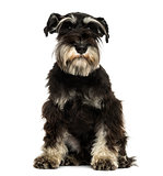 Front view of a Miniature Schnauzer sitting, looking at the came