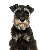 Close-up of a Miniature Schnauzer looking at the camera, 1 year