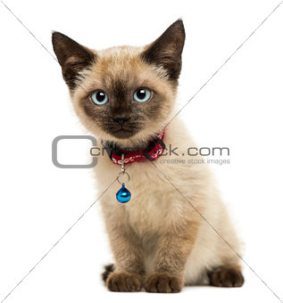 American Polydactyl kitten sitting, looking at the camera,3 mont