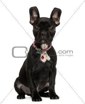 French Bulldog puppy sitting, looking at the camera, 3 months ol