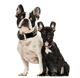 French Bulldog adult and puppy looking away, 3 months old, isola