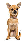 Front view of a Chihuahua wearing a pink collar, sitting, 2,5 ye