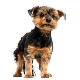 Yorkshire Terrier standing, looking away, 6 years old, isolated