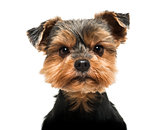 Close-up of a Yorkshire Terrier looking severly at the camera, 6