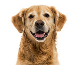 Close-up of a Golden Retriever panting, 11  years old, isolated