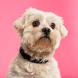Close-up of a Maltese, 5 years old, isolated on a pink backgroun