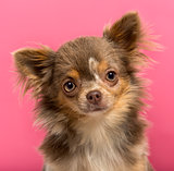 Close-up of a Chihuahua puppy, 6 months old, isolated on a pink