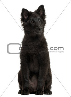 Greenland Dog puppy sitting, looking away, 4 months old, isolate