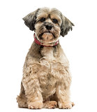 Front view of a Lhasa apso sitting, looking at the camera, isola