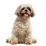 Front view of a Shih tzu sitting, panting, looking at the camera