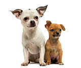 Chihuahua adult and puppy sitting together, 3 months old, isolat