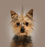 Yorkshire Terrier with a crest, sitting, looking at the camera,1