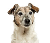 Close-up of an old Jack Russell Terrier, 13 years old, isolated