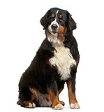 Bernese Mountain Dog sitting, looking away, 8 months old, isolat