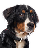 Close-up of a Bernese Mountain Dog, isolated on white