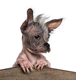 Close-up of a Chinese crested dog leaning on a wooden board, iso