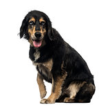 Side view of a Crossbreed dog panting, looking at the camera, is