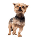 Yorkshire terrier standing, looking away, alert, 4 years old, is