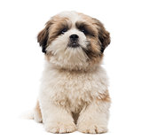 Front view of a Shih Tzu puppy lying, looking at the camera, 5 m