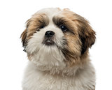 Close-up of a Shih Tzu puppy, 5 months old, isolated on white
