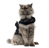 Grumpy Persian cat wearing a shiny harness, sitting, isolated on