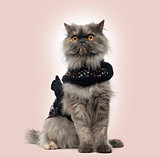 Grumpy Persian cat wearing a shiny harness, sitting, on a beige