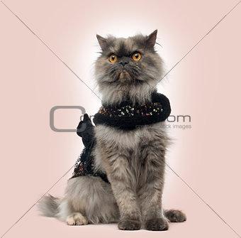 Grumpy Persian cat wearing a shiny harness, sitting, on a beige