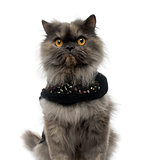 Close-up of a Persian cat wearing a shiny harness, looking at th