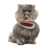 Front view of a grumpy Persian cat wearing a tartan harness, sit