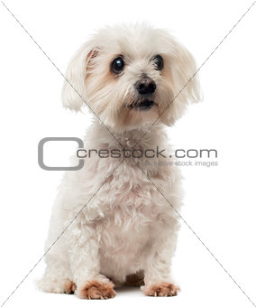 Old Maltese dog with cataract, sitting, looking away, 15 years o