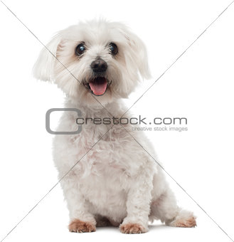 Old Maltese dog with cataract, sitting, panting, 15 years old, i