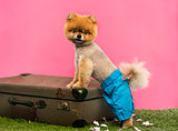 Pomeranian dog, shorts and Hawaiian lei, leaning on suitcase
