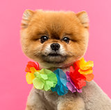 Close-up of a Pomeranian dog wearing a Hawaiian lei