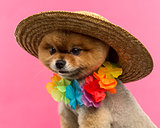 Pomeranian dog wearing a colored hat and a Hawaiian lei