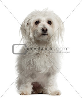 Old Maltese sitting and looking away