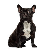 French Bulldog sitting and looking away