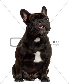 French Bulldog sitting and looking up