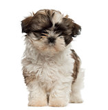 Shih Tzu puppy standing and looking at the camera