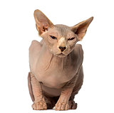 Sphynx lying and has the eyes half closed