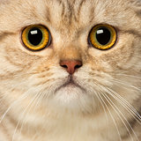 Close-up of a British Shorthair looking at the camera