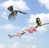 Two Great tits, clouded sky, flowering branch